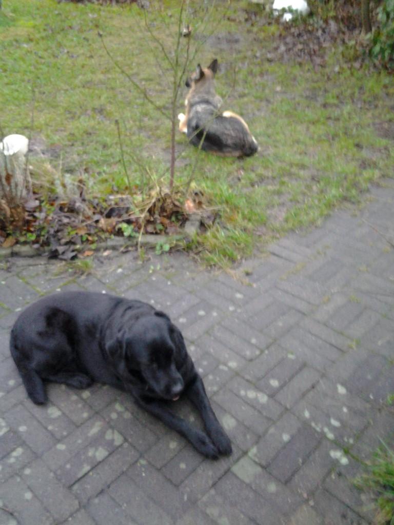 Trætte hunde efter Træning
