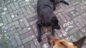Lady passer på Schanta efter besøg ved dyrelæge